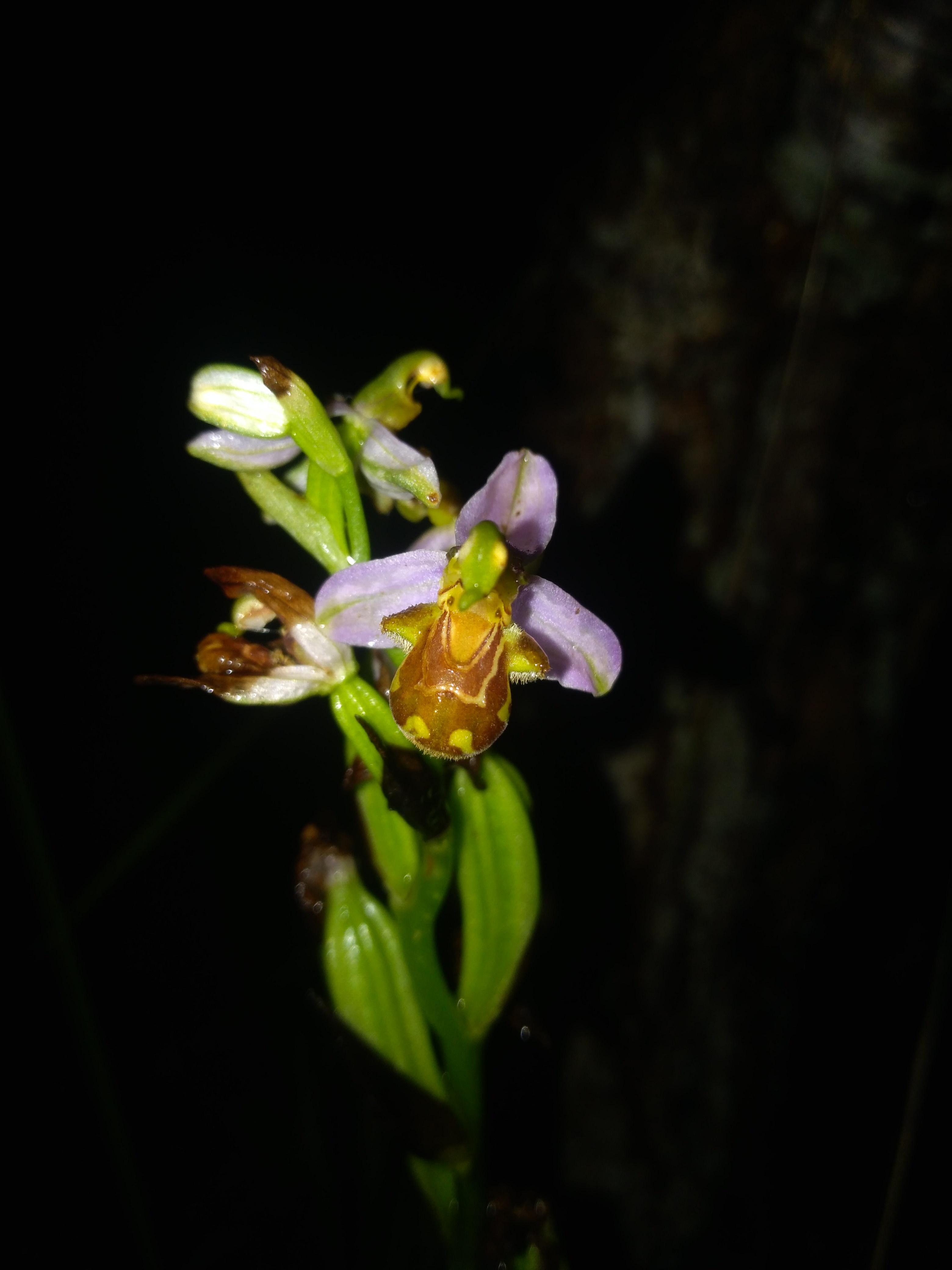 Orphys abeille ? W287_ogj