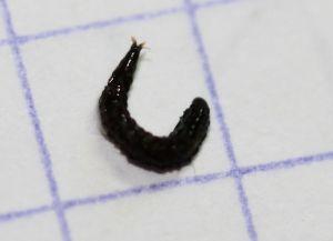 Vers noirs parasites for Gros vers gris dans la terre